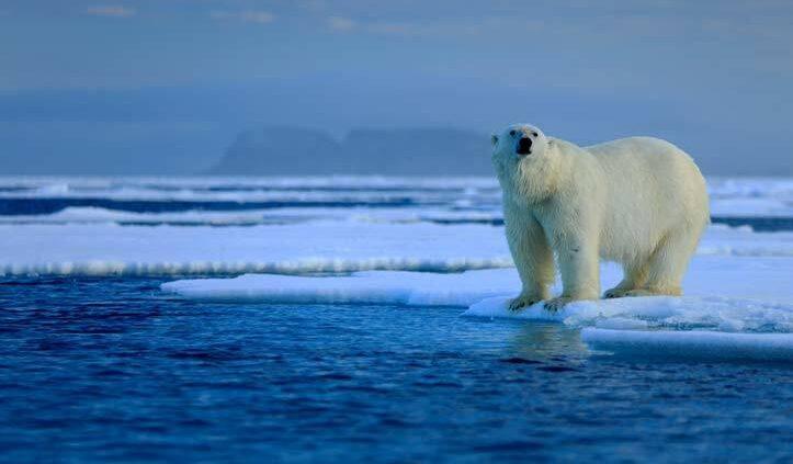 Polar-bear-on-ice-flow-Arctic-SS