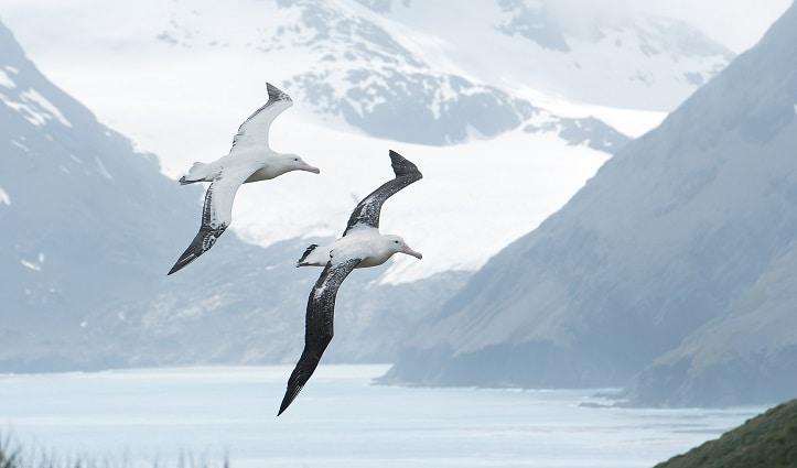 Wandering Albatross South Georgia