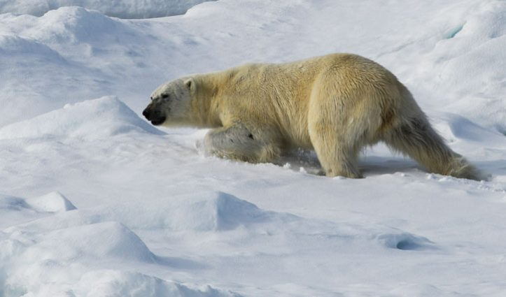 Arctic-Luxury-&-Expeditions-Cruises-Polar-bear-in-snow-North-pole-725-x-440