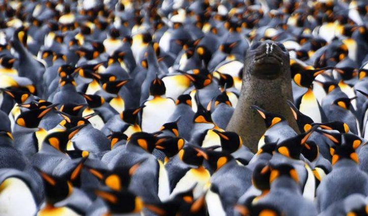 elephant-seal-amid-king-penguins-Gold-Harbour-South-Georgia-Jan-2018-Jack-Burridge-735-x-440