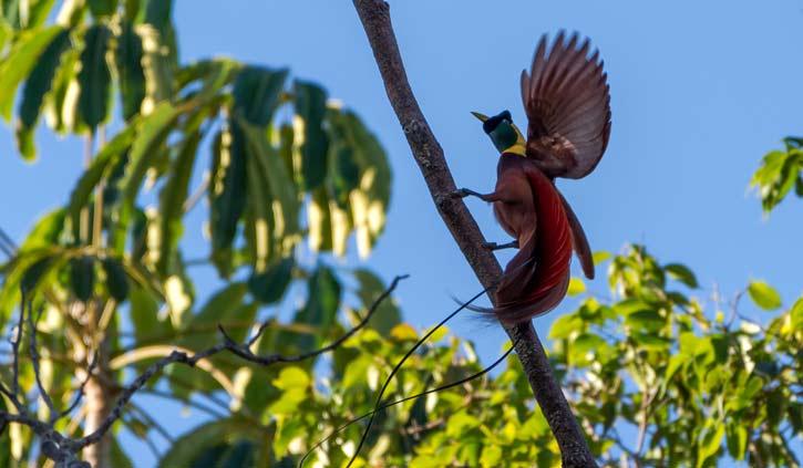 Red-Bird-of-paradise-Rahja-Ampat-Alamy-stock-photo-725