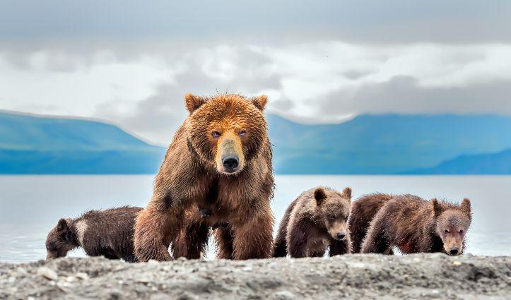 Bears-Kamchatka, Russia