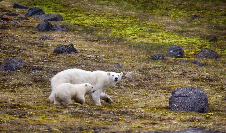 Polar Bears Franz Joseph Land