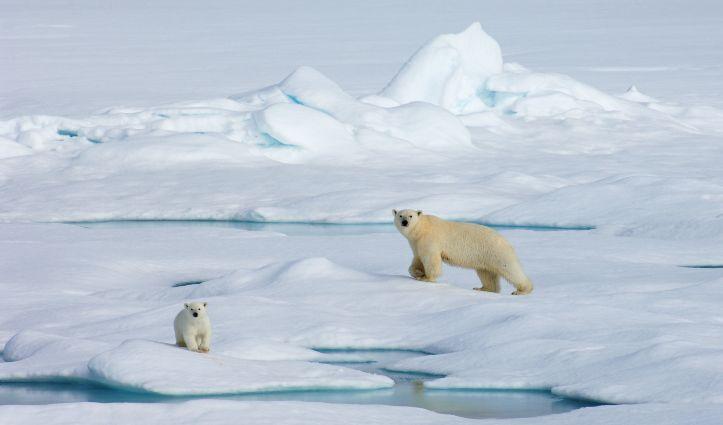 polar bears wrangel island