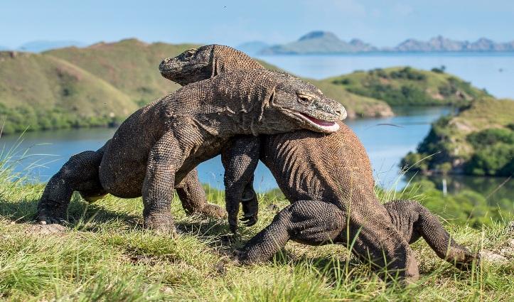 Komodo Dragons, Island Rinca, Indonesia