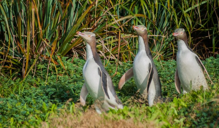 Yellow-Eyed Penguins- Enderby
