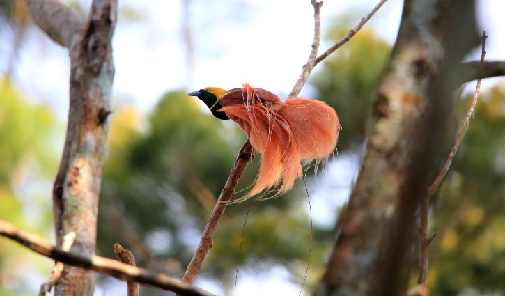 Raggiana Bird-of-Paradise, Varirata National Park, Papua New Guinea