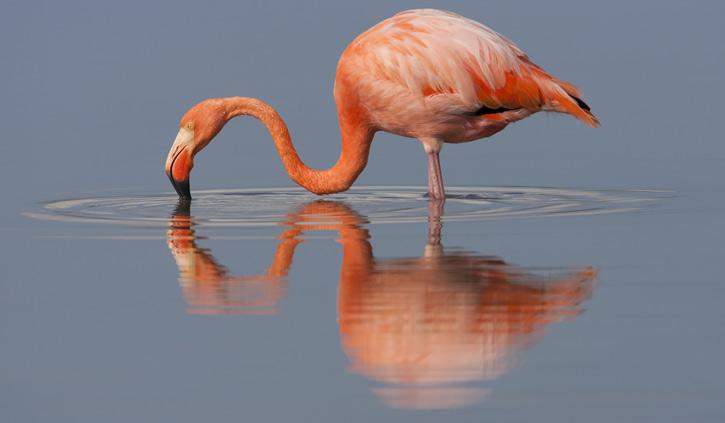 Andean-flamingo---Galapagos---Ecuador