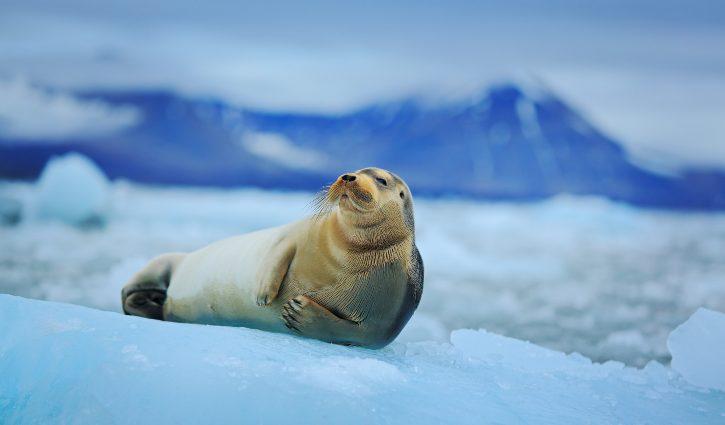 Beareded seal - Spitsbergen - Arctic shutterstock_294456368