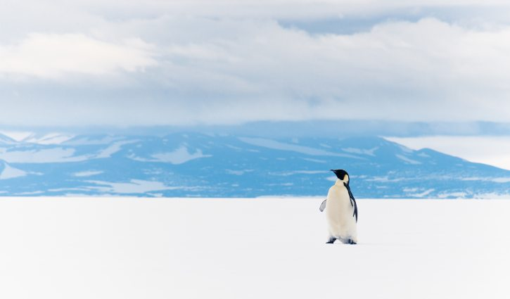 Emperor Penguin, Ross Sea