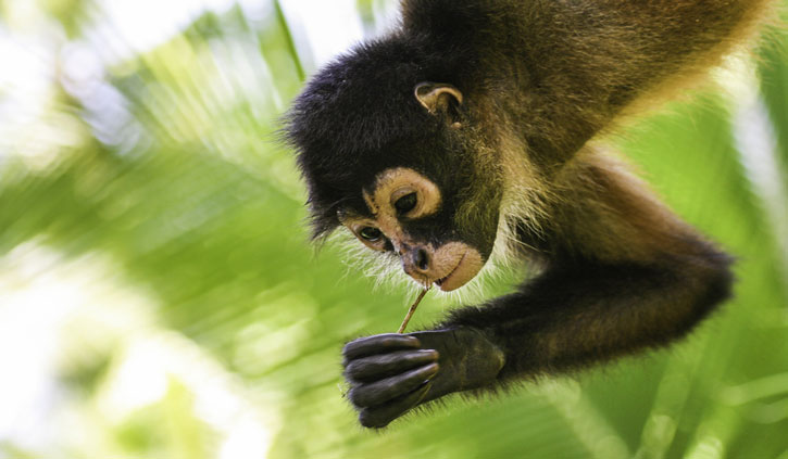 spider-monkey-Costa-Rica-shutterstock_613511666