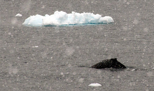 Brown-Base-Whale