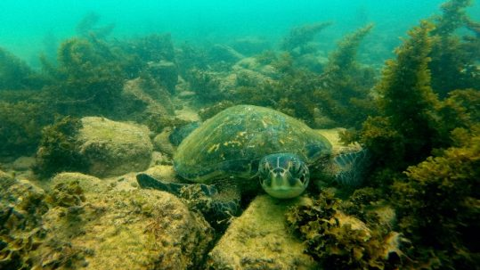 Galapagos Turtle on Seabed