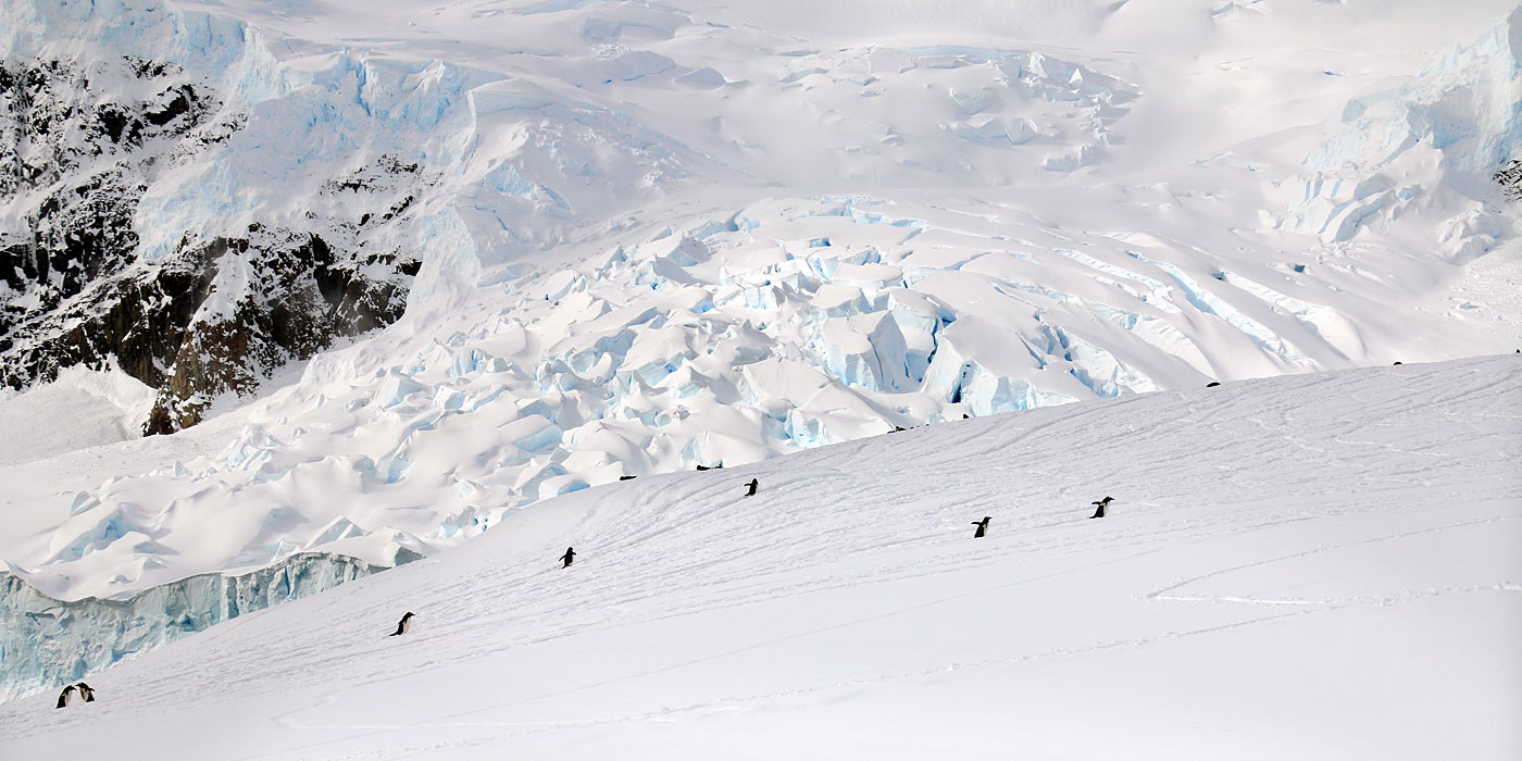 Nekko Harbour Antarctica Penguins walking up hill