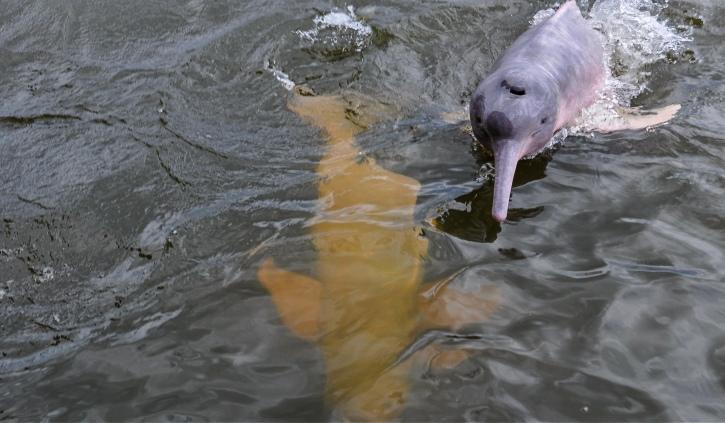 Pink River Dolphin Peru & Brazil