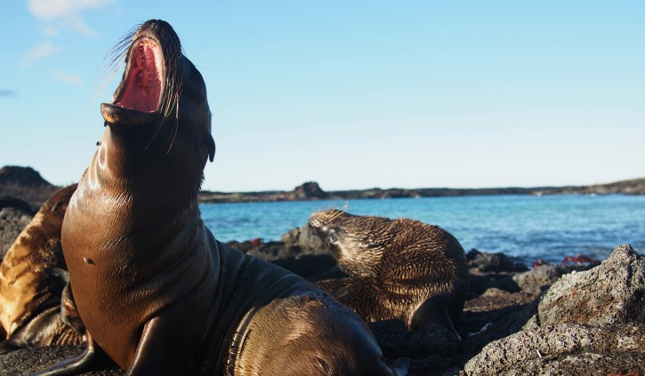 Playful Galapagos Seals