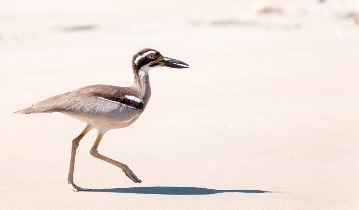 adult beach stone-curlew, careening bay