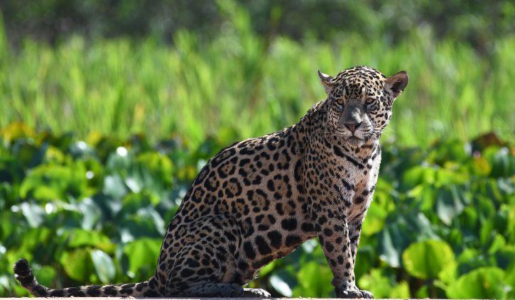 Nellie Jaguar Pantanal resize