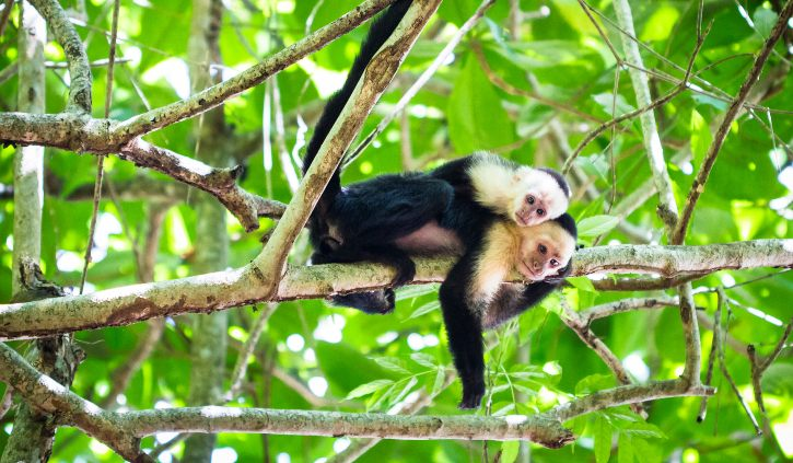 shutterstock_767957851 White faced capuchin monkey Tortuguero National Park, Costa Rica resize