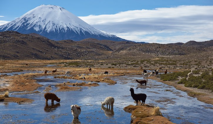 shutterstock_297628109 Alpaca (Vicugna pacos) grazing at the base of the snow capped Parinacota Volcano, Chile. resize